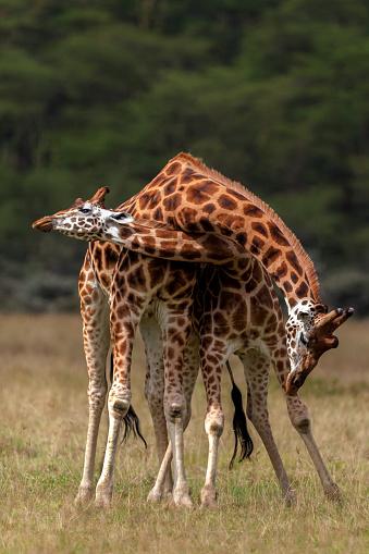 Giraffe「Rothschilds giraffes necking.」:スマホ壁紙(10)