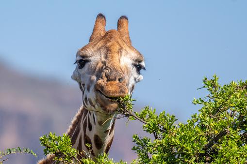 Giraffe「Rothschild's giraffe nibble」:スマホ壁紙(17)