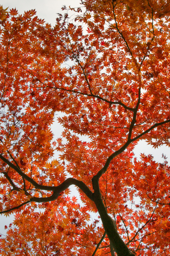 秋+京都「Autumn-colored leaves of maple (acer) tree」:スマホ壁紙(3)