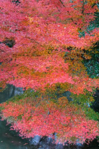 秋+京都「Autumn-colored leaves of maple (acer) tree」:スマホ壁紙(11)