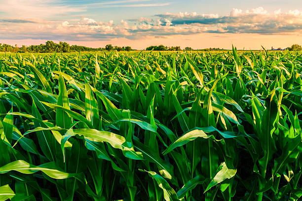 green cornfield ready for harvest, late afternoon light, sunset, Illinois:スマホ壁紙(壁紙.com)