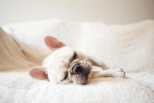 French Bulldog「Usa, New York State, New York City, Portrait of French Bulldog sleeping on sofa」:スマホ壁紙(19)
