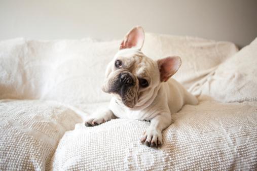 French Bulldog「Usa, New York State, New York City, Portrait of French Bulldog lying down on sofa」:スマホ壁紙(14)