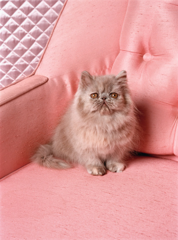 Cat「Grey Persian cat on pink sofa」:スマホ壁紙(2)