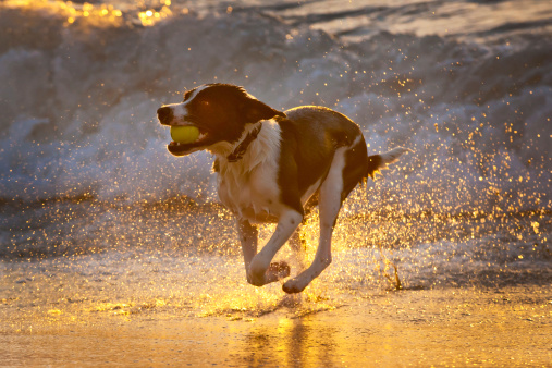 Efficiency「athletic dog with tennis ball in the surf」:スマホ壁紙(17)