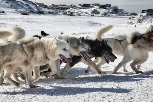 Dogsledding「Dog sledding in Greenland」:スマホ壁紙(19)