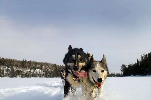 Dogsledding「Dog Sledding in Minnesota」:スマホ壁紙(0)