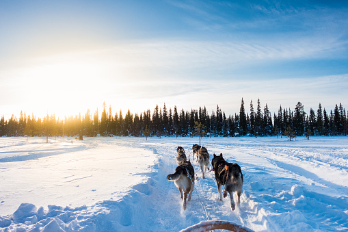 Dogsledding「Dog sledding in the morning, Lapland, Finland」:スマホ壁紙(4)