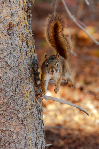 Gray Squirrel「Western gray squirrel」:スマホ壁紙(19)
