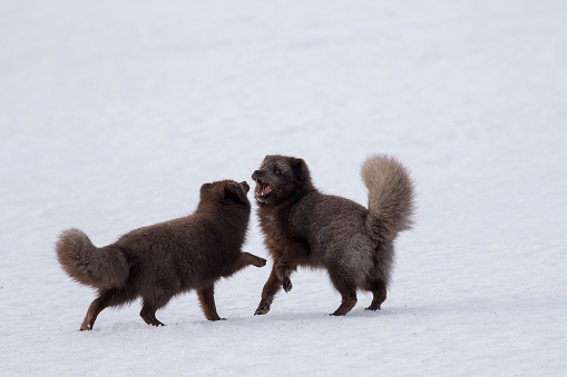 Arctic Fox「Pair of Arctic Foxes in the snow, Iceland」:スマホ壁紙(4)