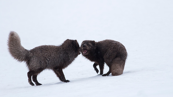 Arctic Fox「Pair of Arctic Foxes in the snow, Iceland」:スマホ壁紙(11)