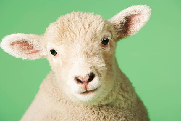 Lamb's Head:スマホ壁紙(壁紙.com)