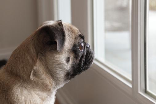 寂しさ「Pug dog looking out glass door」:スマホ壁紙(14)