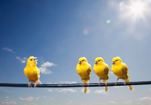 Canary「Four canaries on wire, one bird chirping」:スマホ壁紙(5)