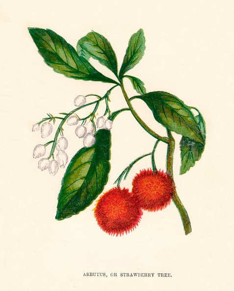 Chromolithograph「Arbutus, or Strawberry Tree, c1891, (1891)」:写真・画像(2)[壁紙.com]