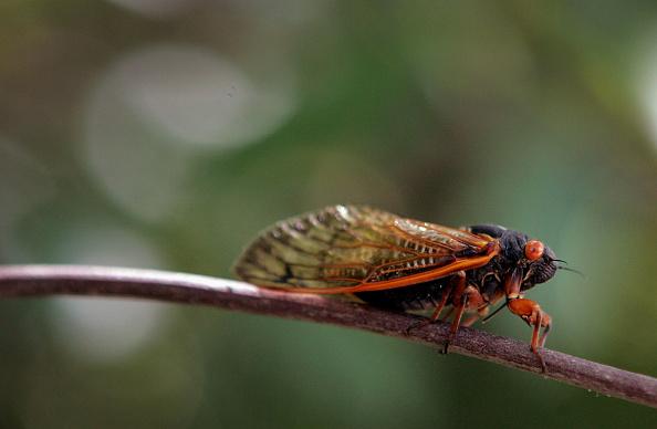 虫・昆虫「Cicadas Return To Midwest」:写真・画像(6)[壁紙.com]