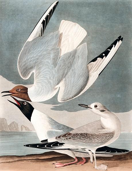 Animal Body Part「Bonapartian Gull」:写真・画像(1)[壁紙.com]