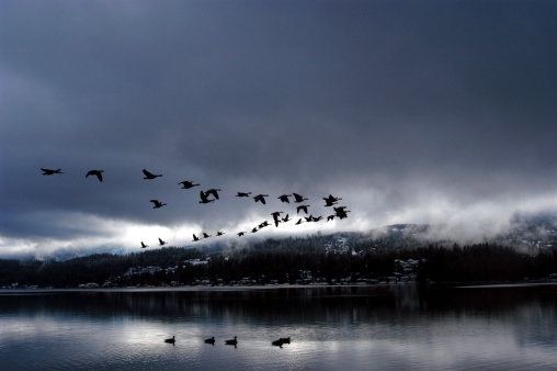 Flock Of Birds「A flock of Canadian Geese fly over Lake Whatcom in V formation during a storm; Bellingham, WA」:スマホ壁紙(15)