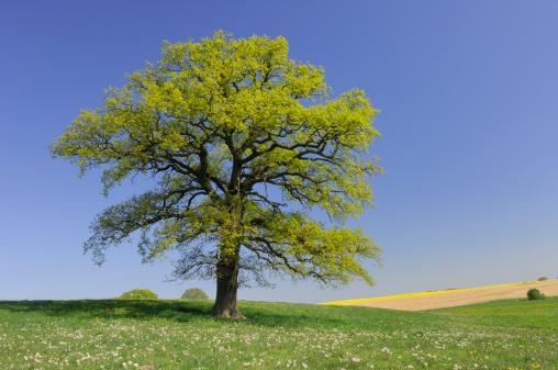 Single Tree「Germany, Mecklenburg-Western Pomerania, Oak tree (Quercus spec.) in meadow」:スマホ壁紙(12)