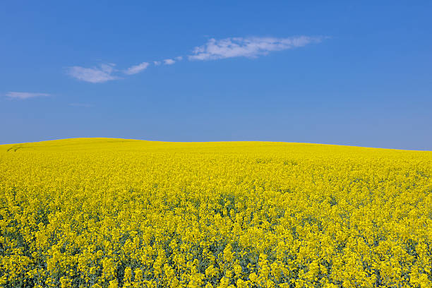 Germany, Mecklenburg Vorpommern, View of yellow rape field, close up:スマホ壁紙(壁紙.com)