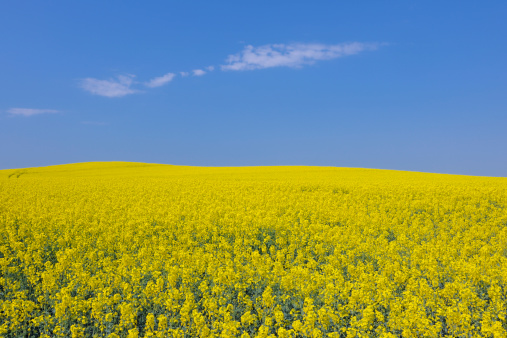 雲「Germany, Mecklenburg Vorpommern, View of yellow rape field, close up」:スマホ壁紙(1)