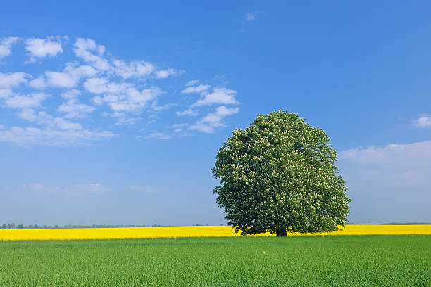 Germany, Mecklenburg-Vorpommern, View of single blossoming horse chestnut tree with rape field in background:スマホ壁紙(壁紙.com)