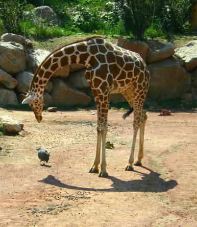 キリン「A young giraffe bending to look at a bird」:スマホ壁紙(9)