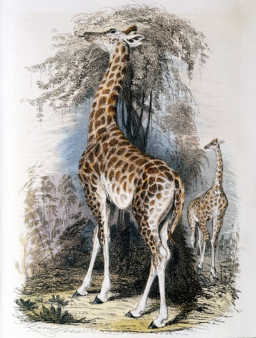 Giraffe「Giraffes feeding on tree」:スマホ壁紙(9)