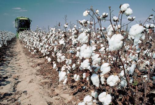 1980-1989「Cotton Plants Await Approaching Harvesting Machinery」:スマホ壁紙(10)
