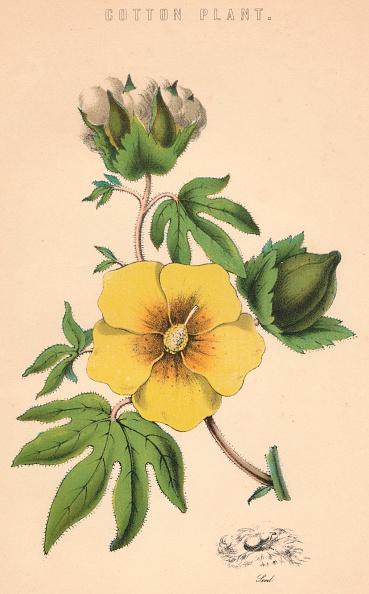 花「Cotton Plant」:写真・画像(8)[壁紙.com]