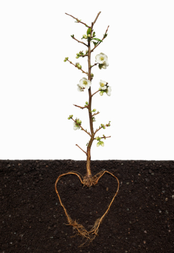 Quince「Flowering quince (Chaenomeles Nivalis) growing out of soil with its plant roots in a heart shape, close-up」:スマホ壁紙(17)