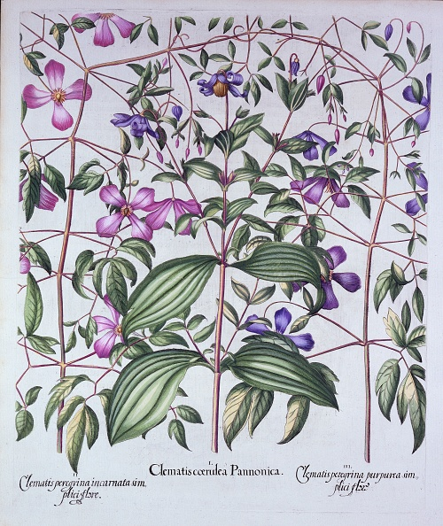 Hand Colored「Three Types Of Clematis」:写真・画像(16)[壁紙.com]