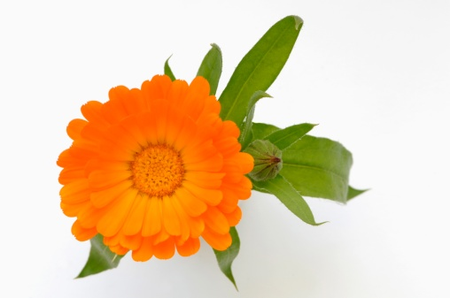 一輪の花「Marigold (Calendula officinalis), close-up, overhead view」:スマホ壁紙(7)