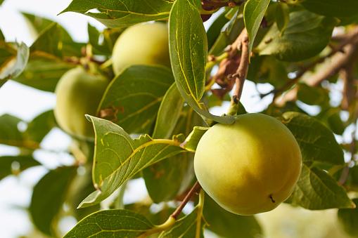 柿「Persimmon ripening on the tree」:スマホ壁紙(7)