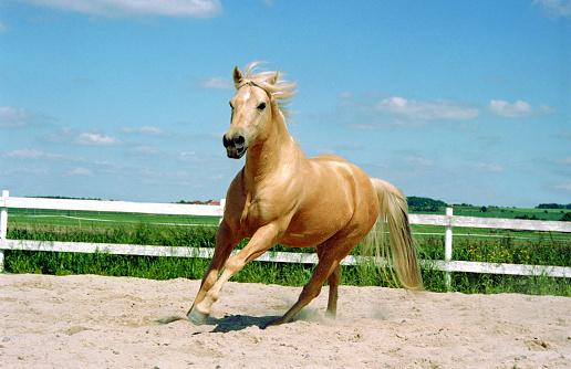 Stallion「galloping Quarter Horse」:スマホ壁紙(18)