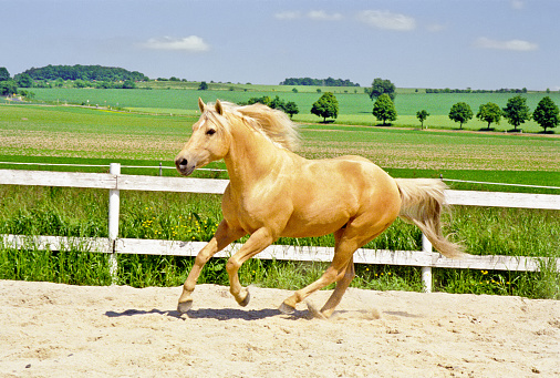 Stallion「galloping Quarter Horse in paddock」:スマホ壁紙(12)