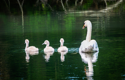Animals In The Wild「Swan Family」:スマホ壁紙(15)