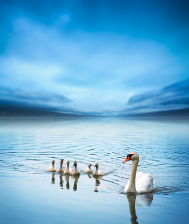 Animals In The Wild「Swan Family On The Lake」:スマホ壁紙(9)