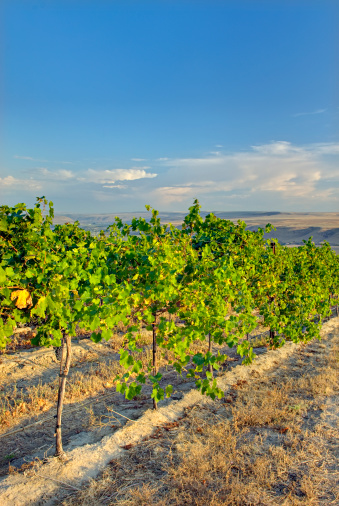 Grape「View of vineyards on Goose Ridge a premium wine growing area of the famed Columbia Valley Washington USA」:スマホ壁紙(13)