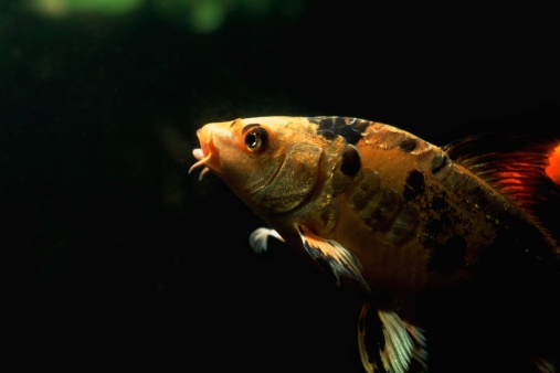 Carp「Black and yellow fish」:スマホ壁紙(10)