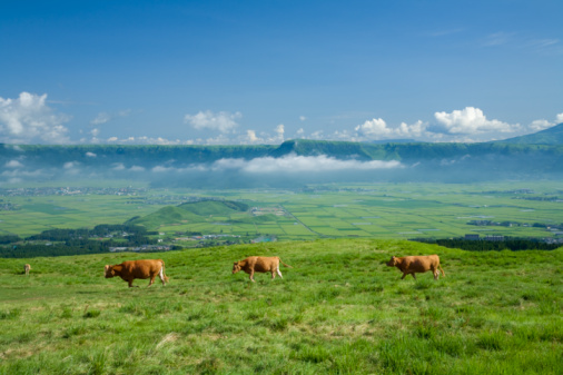 Active Volcano「Cows at Mount Aso, Aso, Kumamoto, Japan」:スマホ壁紙(12)