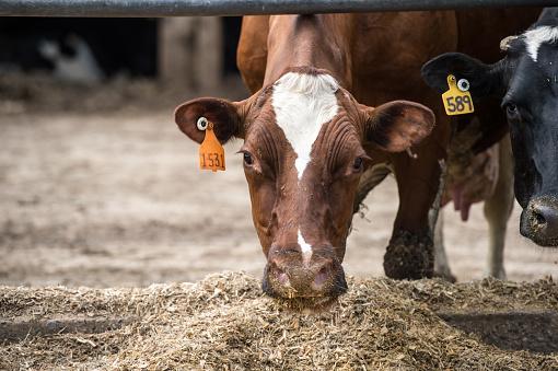 Agricultural Building「Dairy Cows feeding」:スマホ壁紙(9)