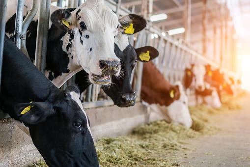 Females「Dairy cows feeding in a free livestock stall」:スマホ壁紙(12)