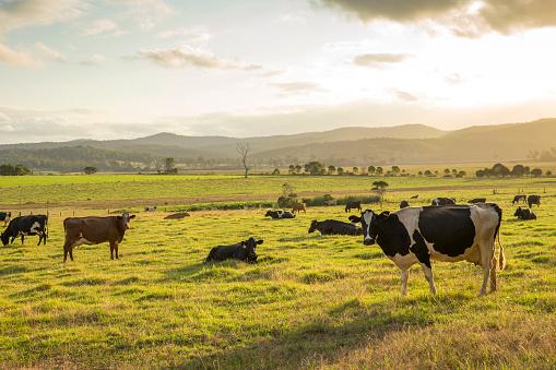 Cattle「Dairy Cows」:スマホ壁紙(16)
