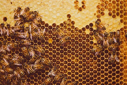 Large Group Of Animals「Bees feeding cells with honey honeycomb」:スマホ壁紙(1)