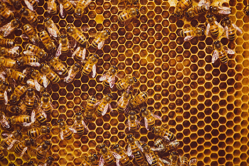 Large Group Of Animals「Bees feeding cells with honey honeycomb」:スマホ壁紙(18)