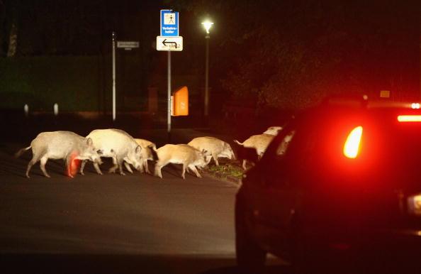 Wild Boar「Wild Pigs A Growing Problem In Berlin」:写真・画像(0)[壁紙.com]