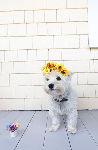 Crown - Headwear「little dog with flower crown」:スマホ壁紙(10)