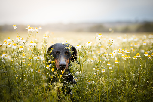 Dachshund「Little dog running among flowers」:スマホ壁紙(9)