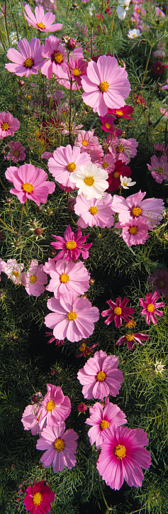 ガーデンコスモス「Agriculture - Cosmos flowers grown for sale at a farmers market / Fresno, California, USA.」:スマホ壁紙(4)